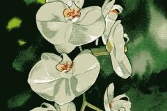 white-phaleonopsis_sm-